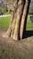 Cyprès chauve de Louisiane – Bruxelles, Parc Léopold –  29 Février 2016