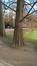 Cyprès chauve de Louisiane – Bruxelles, Parc Léopold –  09 Mars 2016