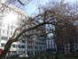 Mûrier blanc – Bruxelles, Square de Meeûs sur Bruxelles –  09 Février 2011
