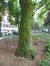 Cladrastis lutea, Square de Meeûs sur Ixelles