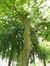 Cladrastis lutea – Ixelles, Square de Meeûs sur Ixelles –  21 Juin 2012
