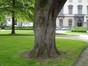 Acer pseudoplatanus f. aureovariegatum, Square Frère Orban