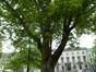Acer pseudoplatanus f. aureovariegatum – Bruxelles, Square Frère Orban –  15 Mai 2012