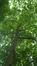 Ptérocaryer à feuilles de frêne – Bruxelles, Parc d'Osseghem –  24 Mai 2017