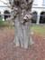 Aesculus turbinata, Tuinen van het Pacheco Instituut