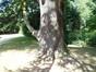Cèdre du Liban – Bruxelles, Jardin du Pavillon Chinois, parc –  23 Août 2012