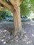 Cornouiller mâle – Bruxelles, Jardin du Pavillon Chinois, parc –  23 Août 2012