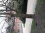 Cornus mas f. variegata – Bruxelles, Jardin du Pavillon Chinois –  16 Mars 2020