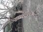 Cornus mas f. variegata