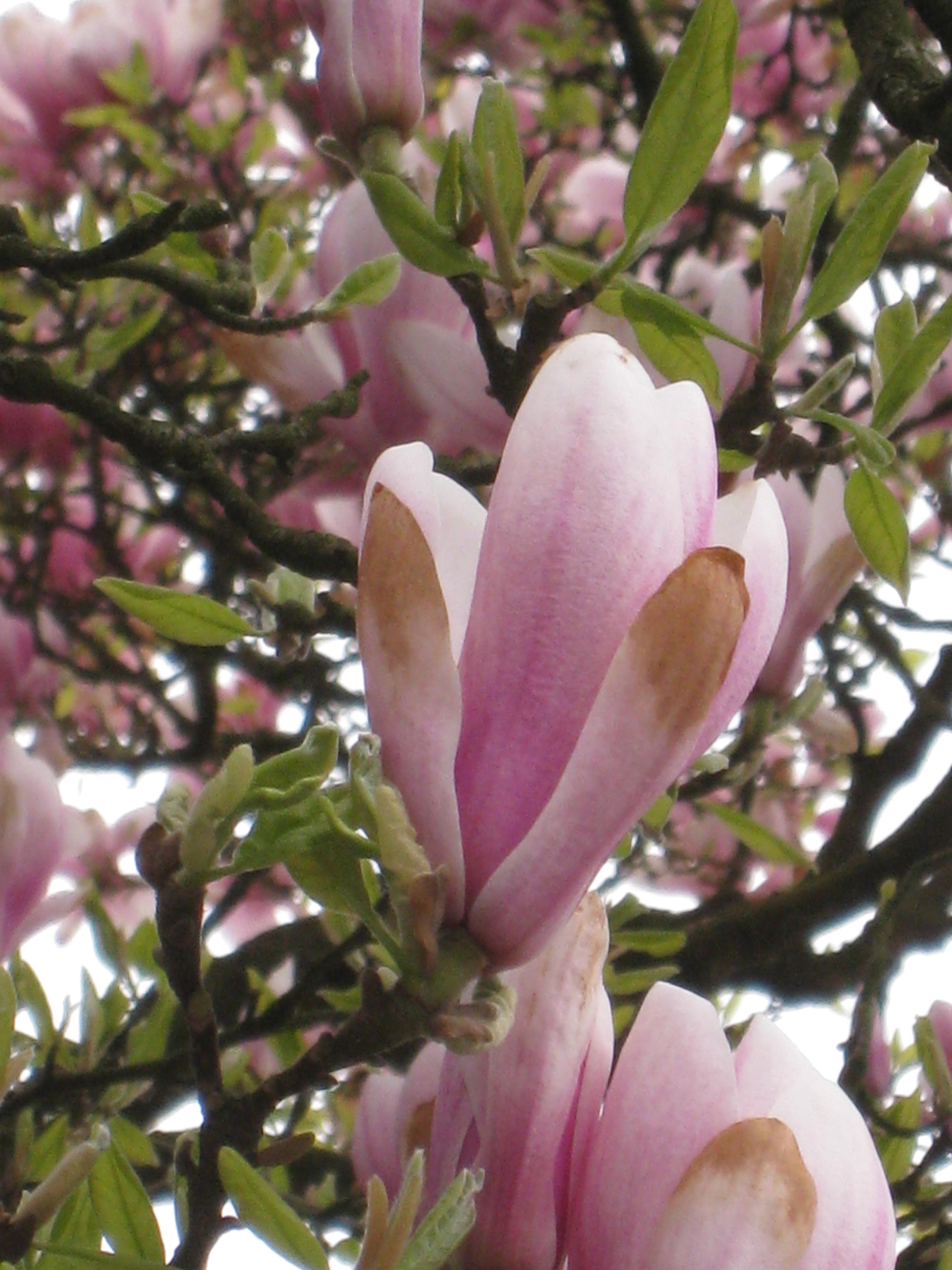 magnolia x soulangeana beverboom inventaris van de opmerkelijke bomen brussels. Black Bedroom Furniture Sets. Home Design Ideas