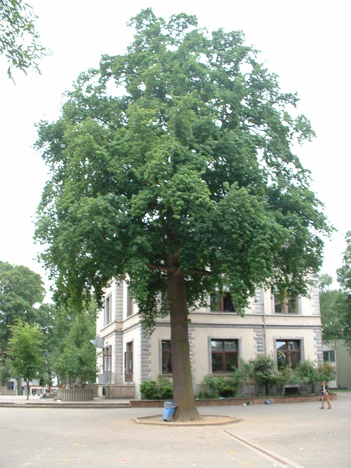 Chêne pédonculé – Etterbeek, Avenue Edmond Mesens, 2 –  03 Juin 2003