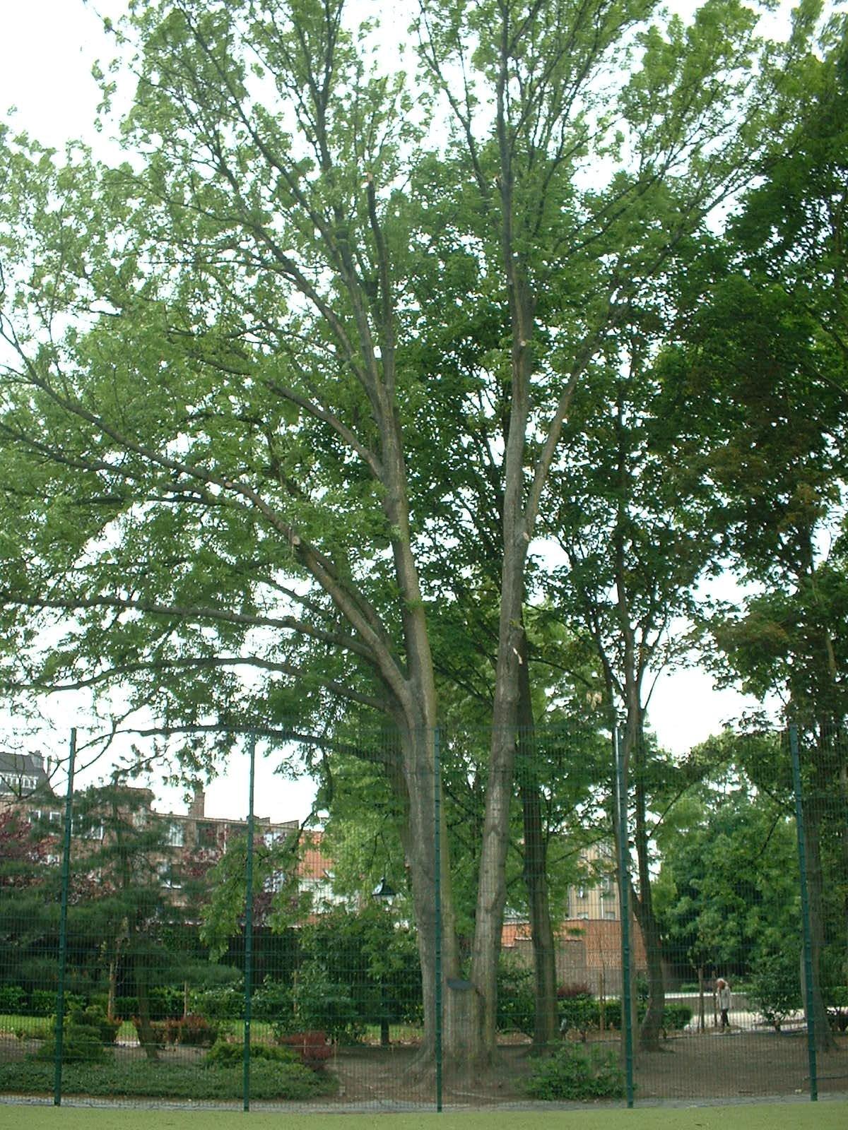 Frêne commun – Etterbeek, Parc Fontenay, Rue Général Fivé, 18-20 –  16 Mai 2003