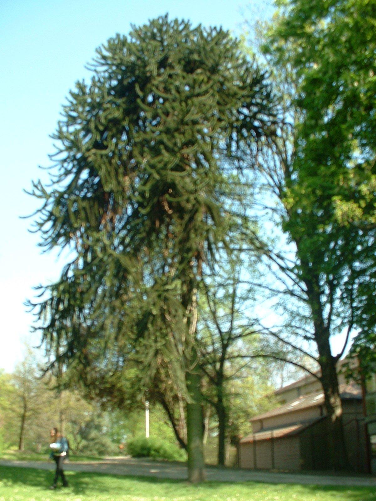 Araucaria du Chili – Anderlecht, Parc Astrid, parc –  17 Avril 2003