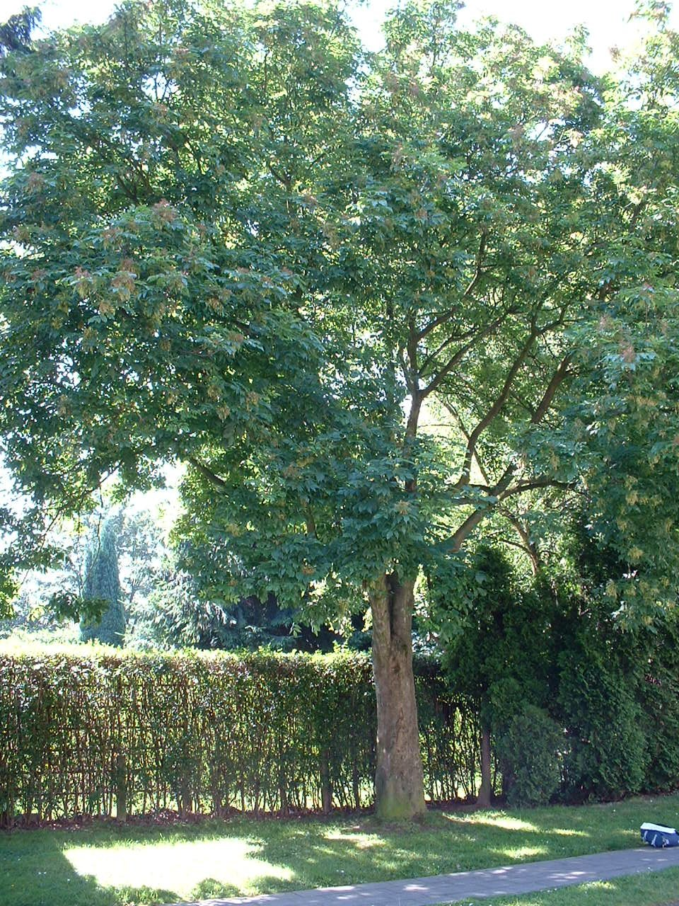 Frêne à fleurs/plumeux – Evere, Quartier Tornooiveld, Avenue de l'Ecu –  17 Juin 2002
