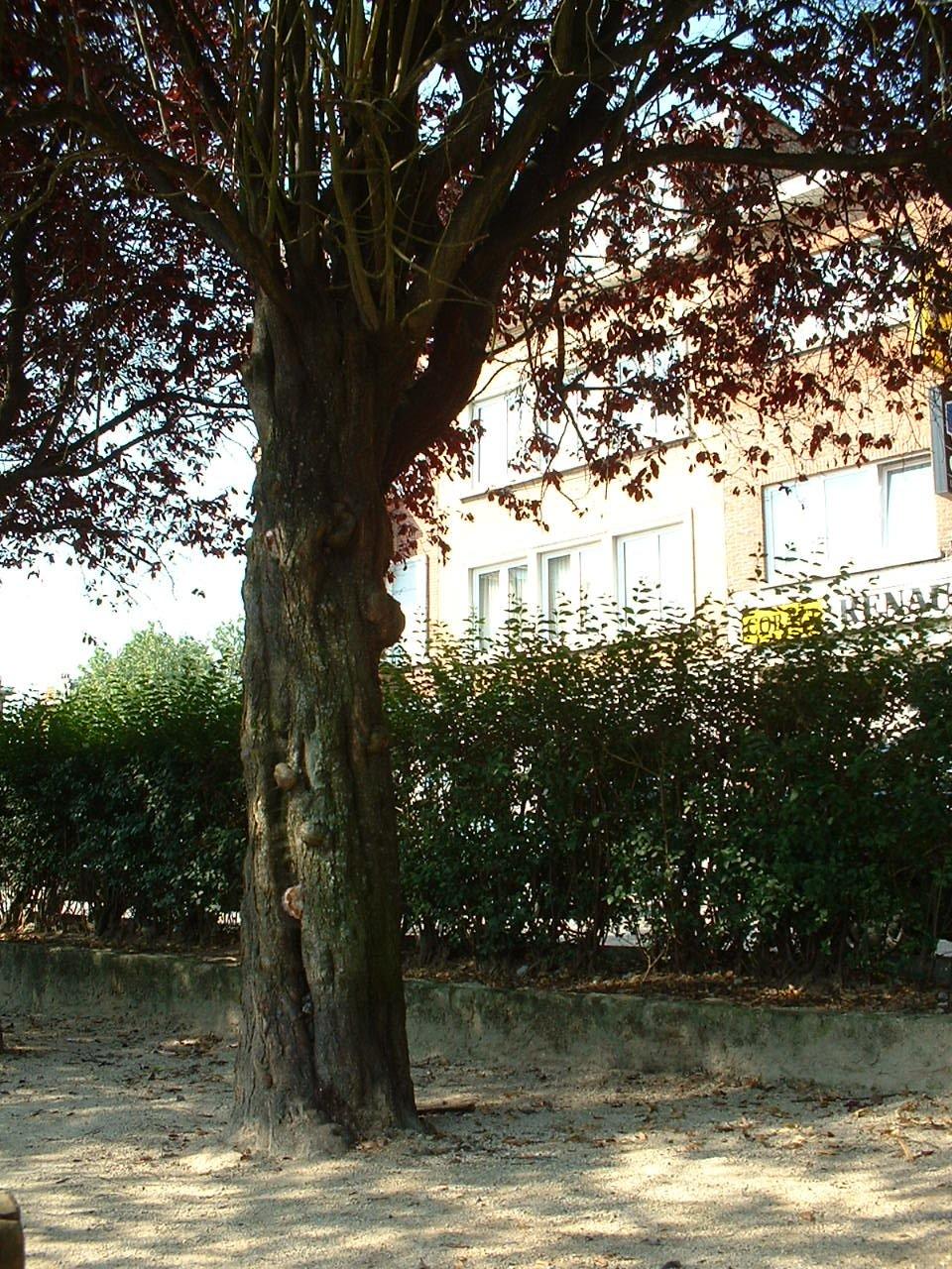 Prunus cerasifera f. spaethiana – Evere, Hendrik Consciencelaan –  26 Juni 2002