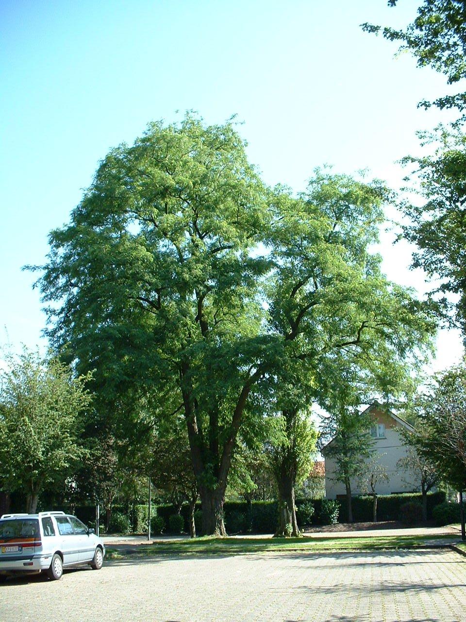 Robinier faux-acacia – Evere, Avenue du Fléau d'Armes –  17 Juin 2002