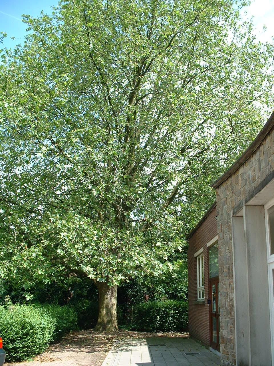 Platane à feuille d'érable – Evere, Rue de Zaventem, 40 –  14 Juin 2002