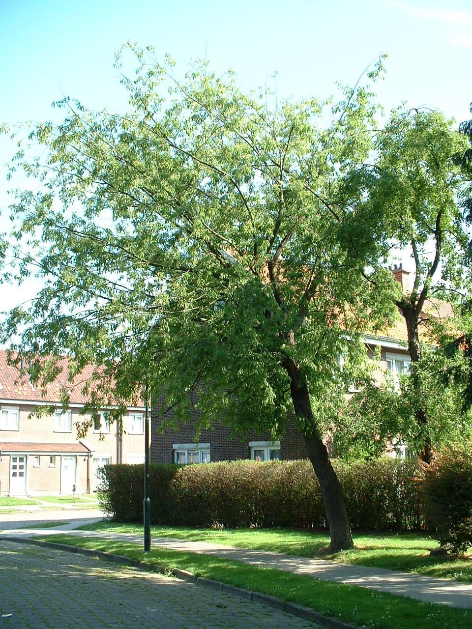 Cerisier noir – Evere, Quartier Tornooiveld, Avenue du Tornooiveld –  17 Juin 2002