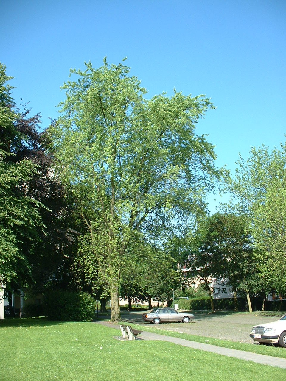 Acer saccharinum var. laciniatum – Evere, Quartier Tornooiveld, Avenue du Destrier –  17 Juin 2002