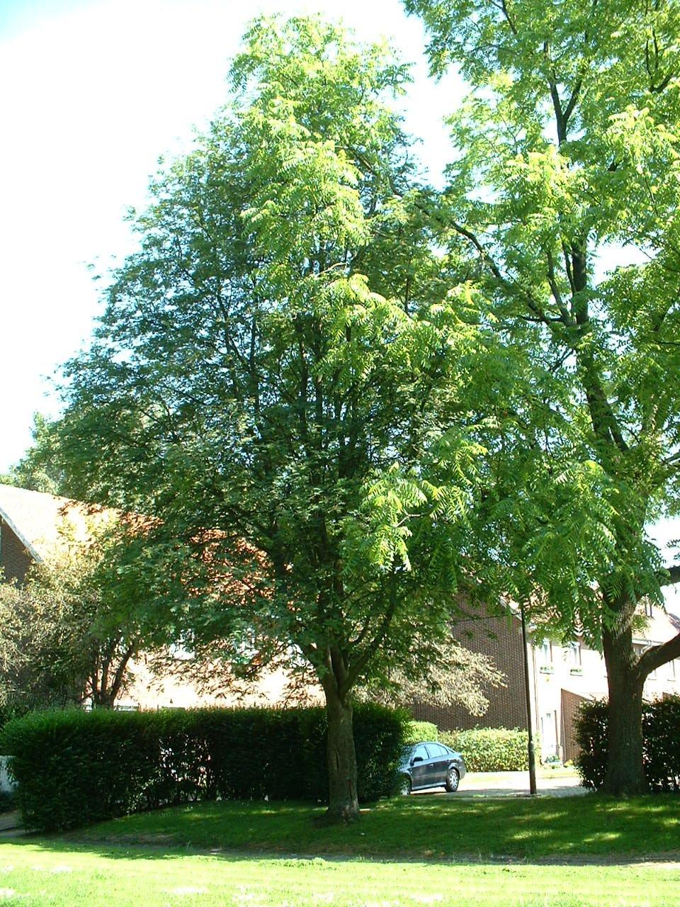 Sorbier des oiseaux (des oiseleurs) – Evere, Quartier Tornooiveld, Avenue du Pennon –  17 Juin 2002