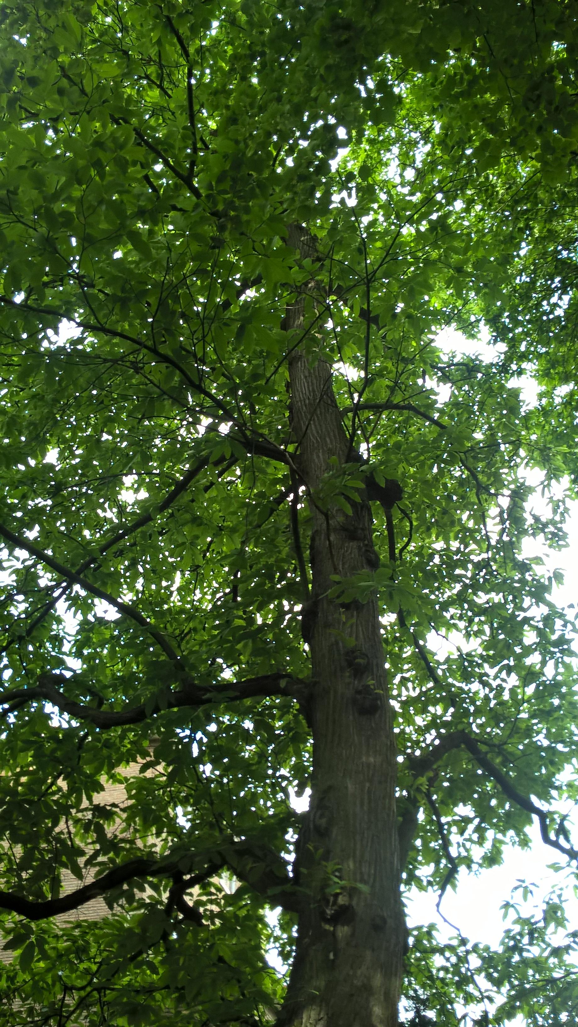 Châtaignier – Forest, Parc Jacques Brel, parc –  15 Juin 2016