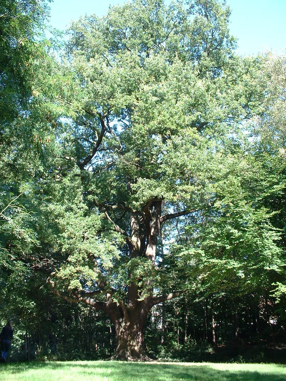 Zomereik, Jacques Brel park