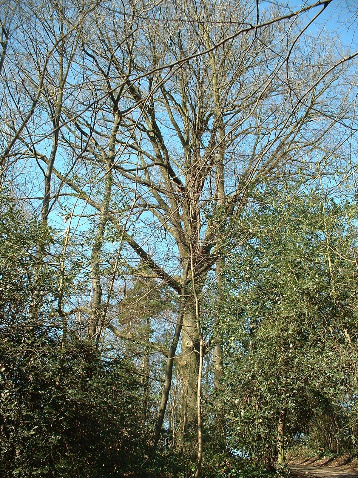 Chêne pédonculé – Forest, Parc Jacques Brel, Avenue Kersbeek –  14 Mars 2003