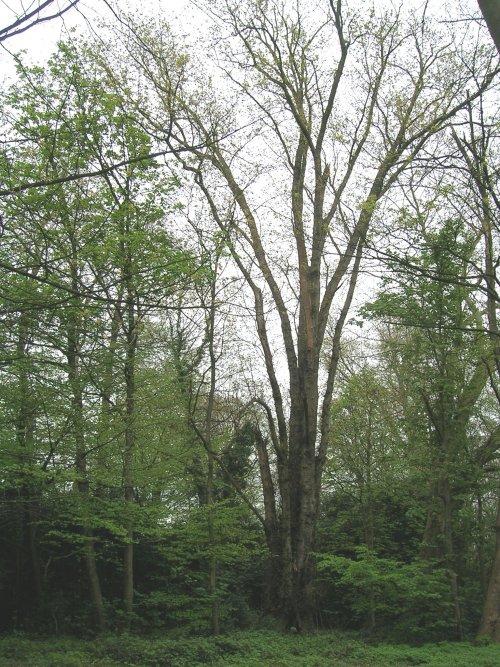 Witte esdoorn – Ganshoren, Park van het Kasteel de Rivieren, Kasteeldreef –  19 April 2005