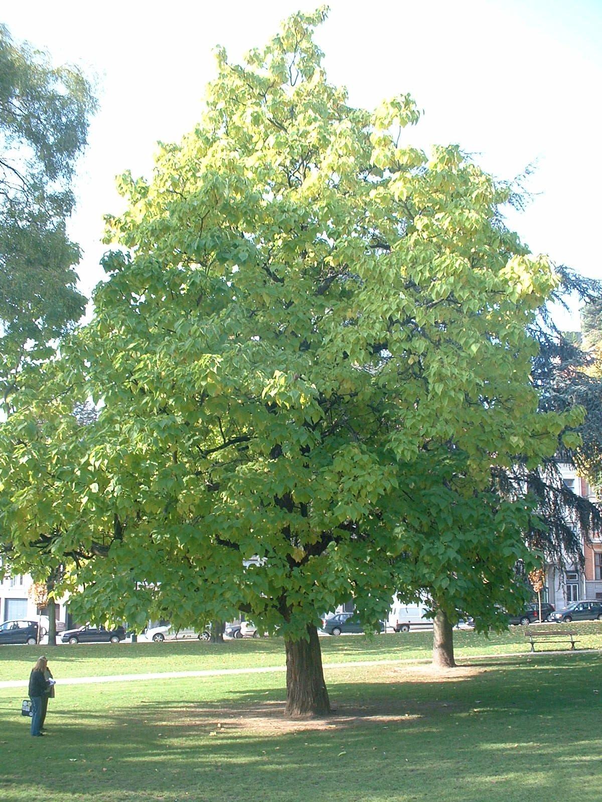 Catalpa commun – Ixelles, Jardins de l'Abbaye de la Cambre, parc –  22 Octobre 2003