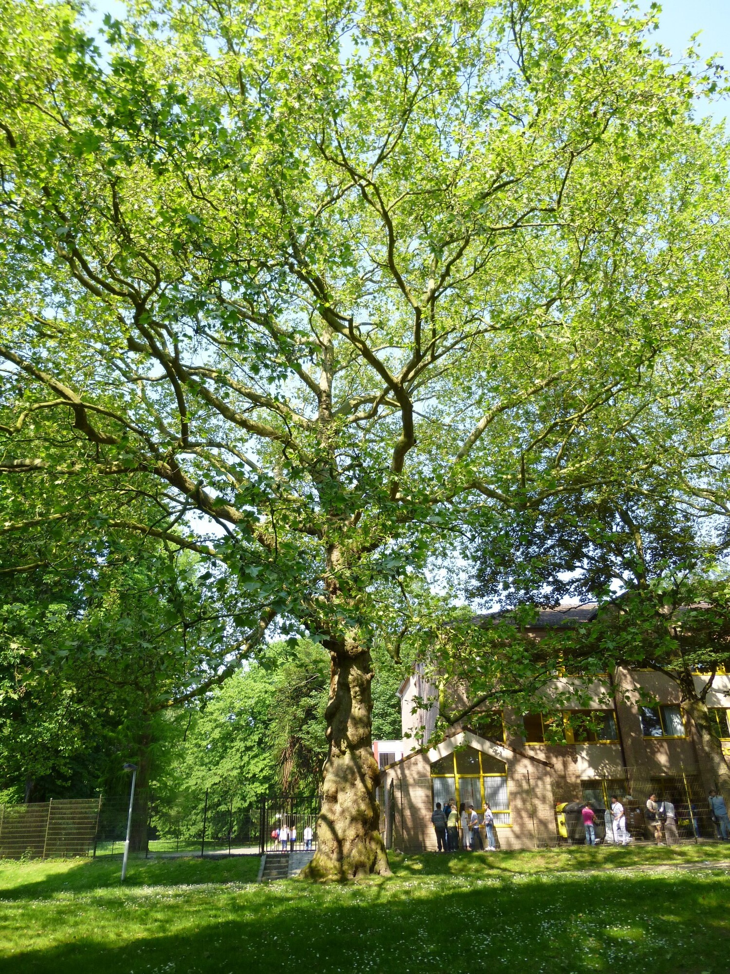 Gewone plataan – Anderlecht, Astridpark, parc –  08 Juni 2013