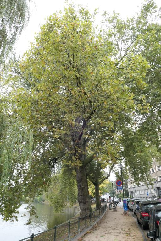 Platane à feuille d'érable – Ixelles, Etangs d'Ixelles, Avenue du Général de Gaulle –  27 Septembre 2019