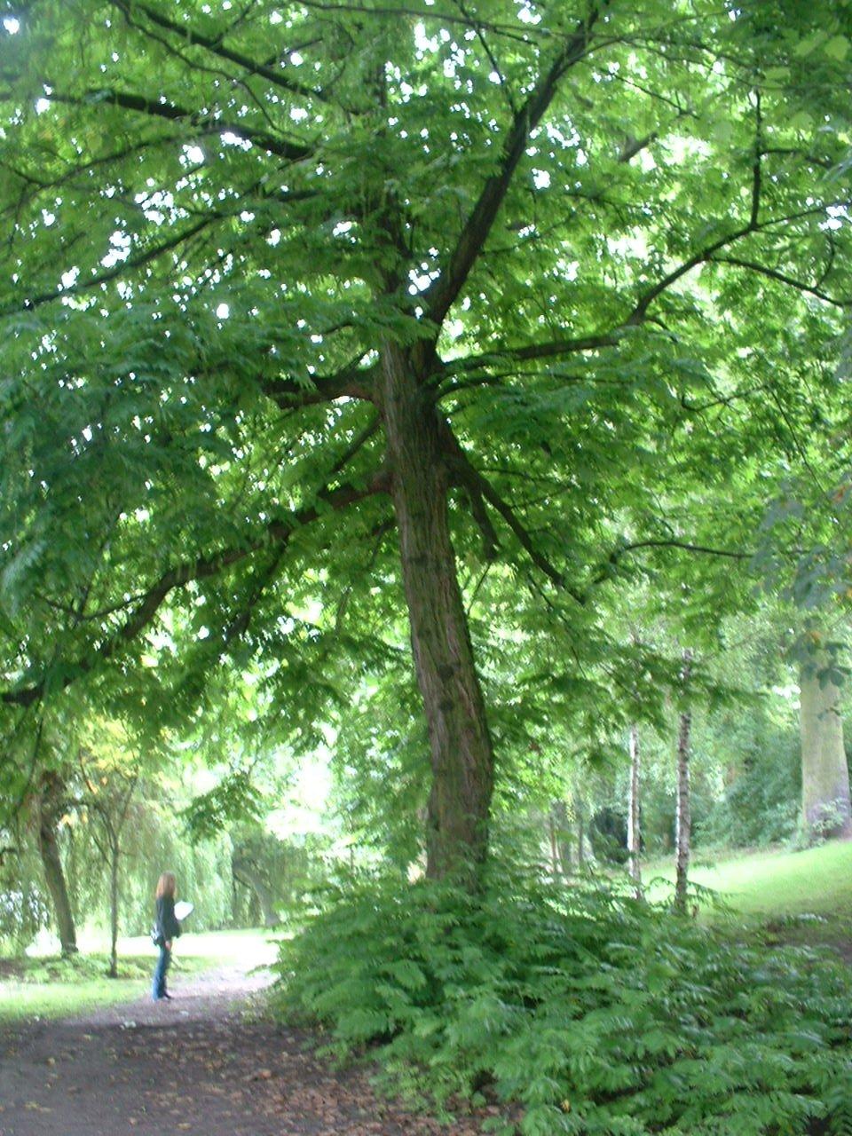 Ptérocaryer à feuilles de frêne – Ixelles, Etangs d'Ixelles, Avenue du Général de Gaulle –  21 Août 2006