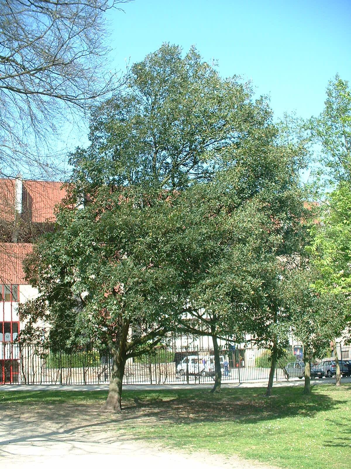 Chêne de Turner – Anderlecht, Parc Astrid, parc –  17 Avril 2003