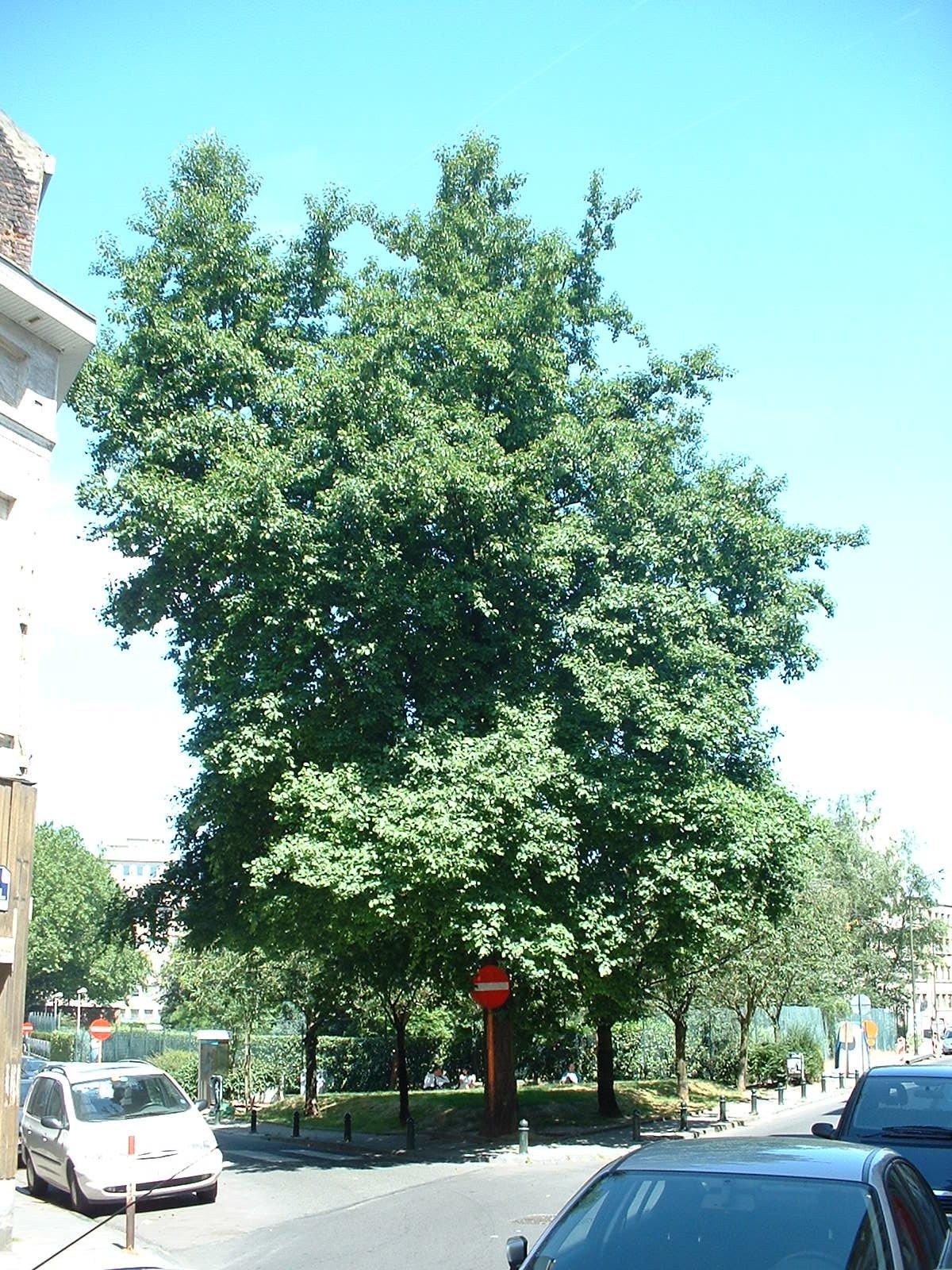 Aulne à feuilles cordées – Ixelles, Rue de l'Arbre Bénit –  25 Juin 2003