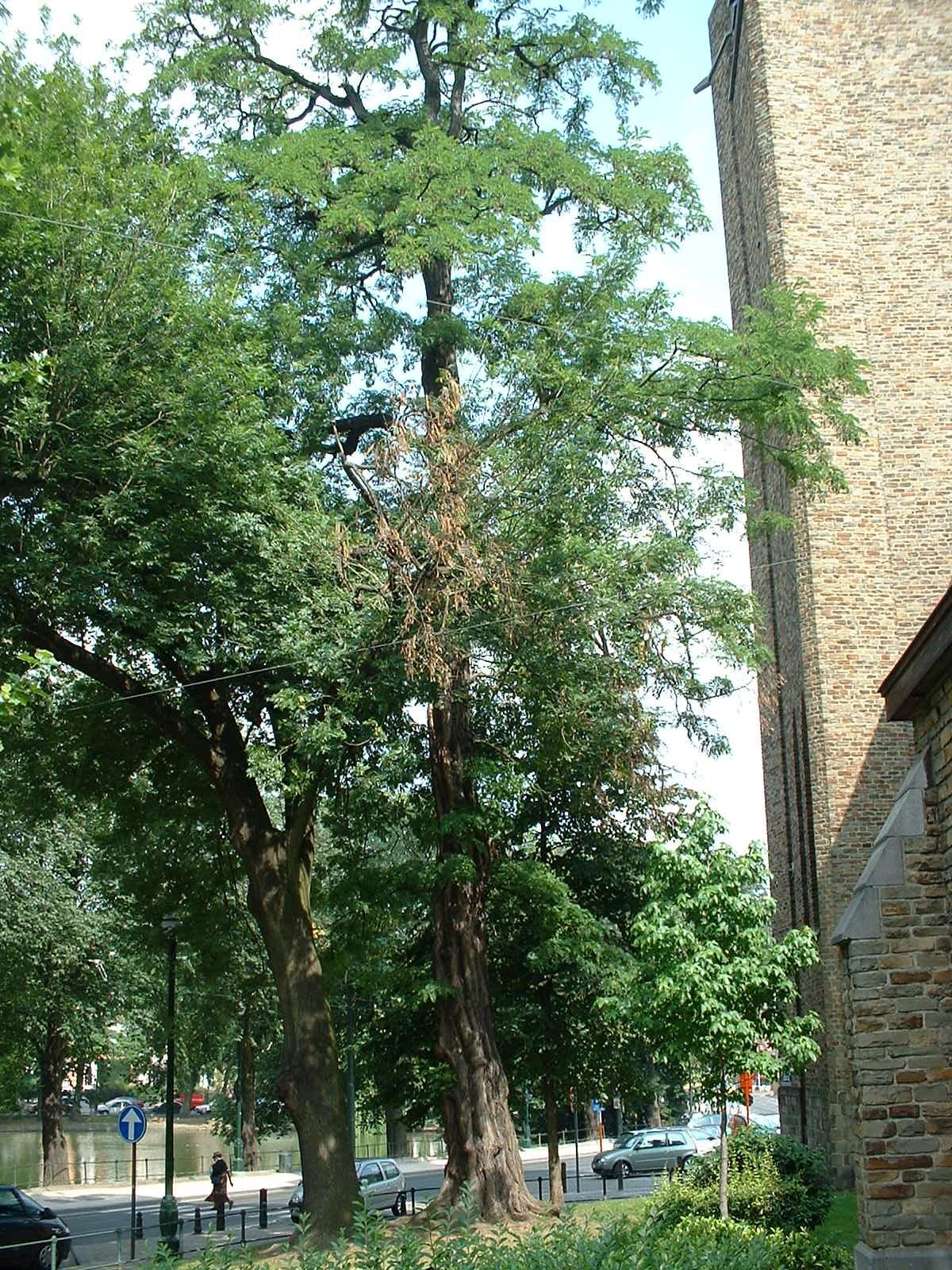 Robinier faux-acacia – Ixelles, Place Sainte-Croix –  09 Juillet 2003