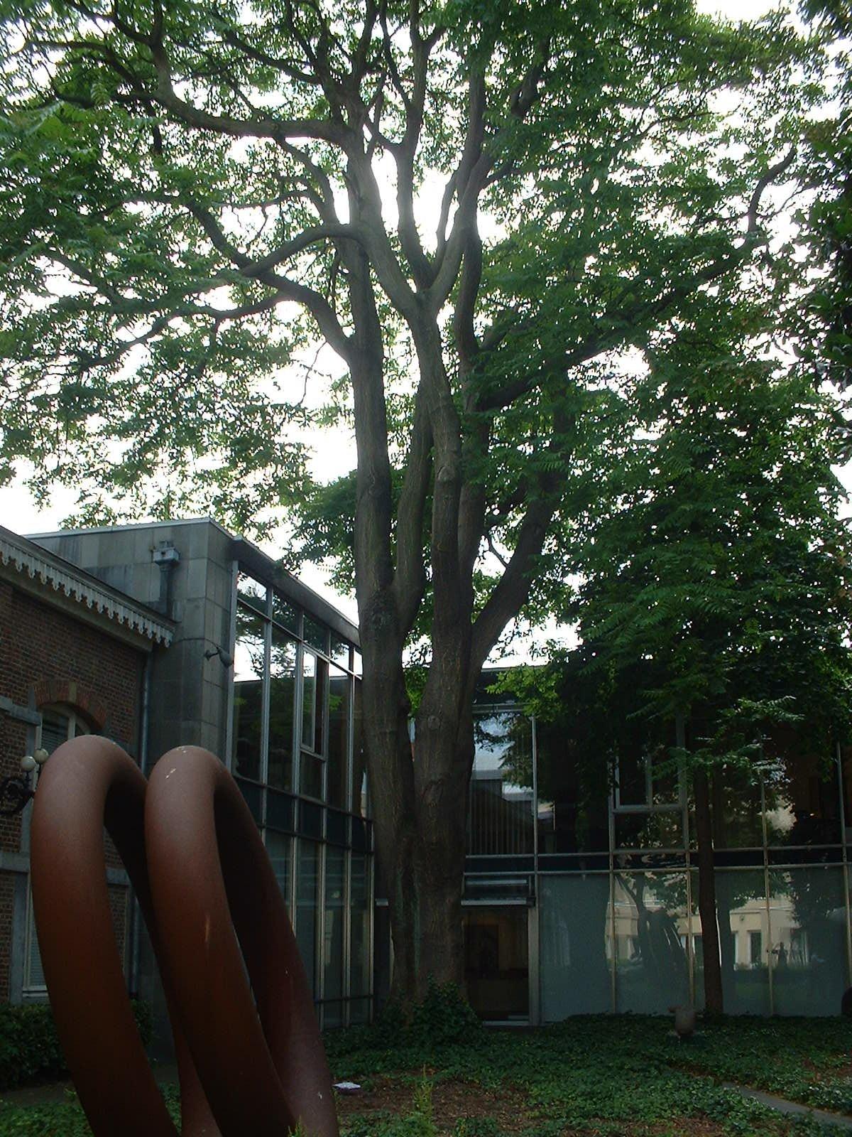 Ailante glanduleux – Ixelles, Rue Jean Van Volsem, 71 –  26 Juin 2003