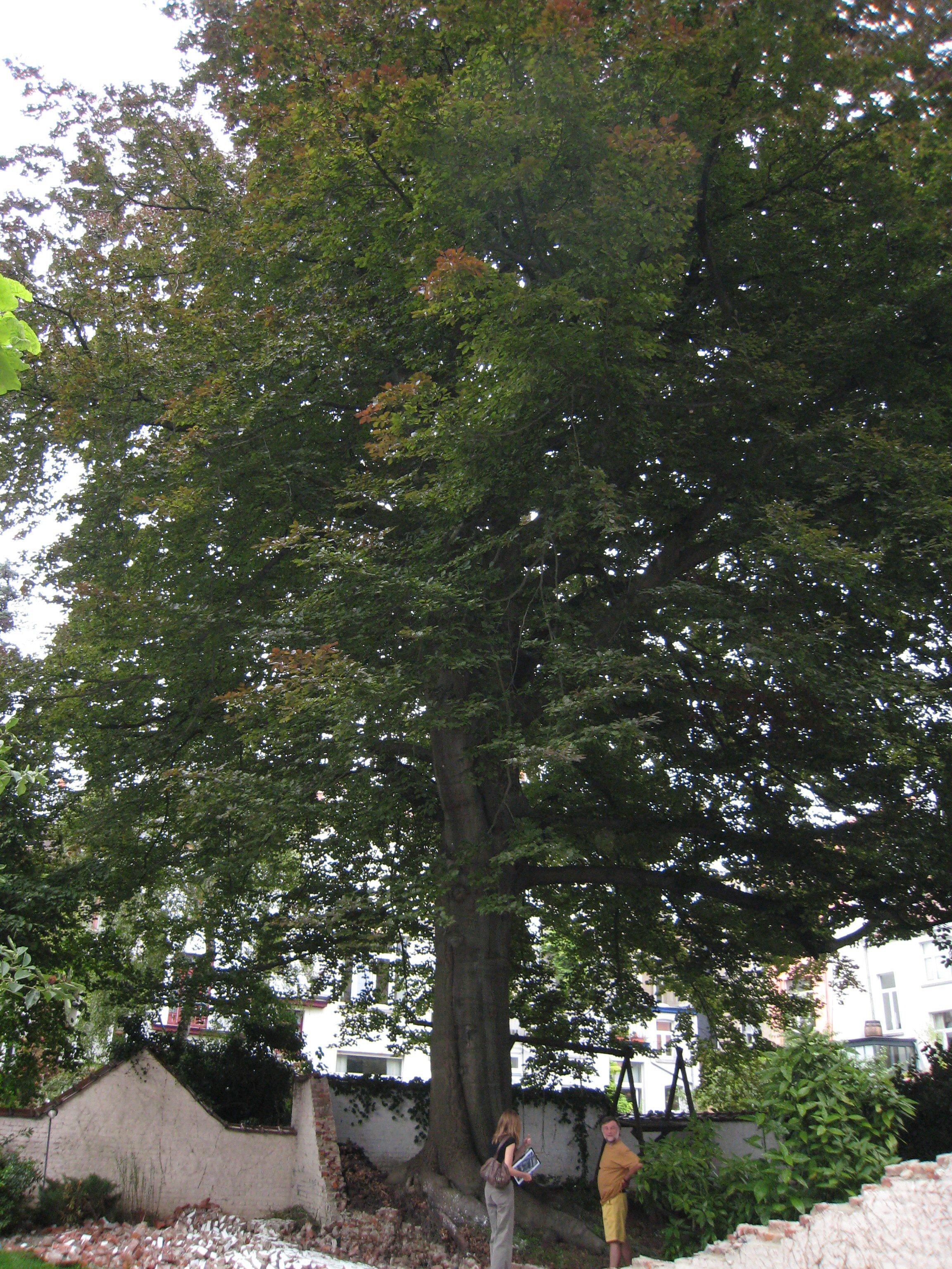 Hêtre pourpre – Ixelles, Rue François Stroobant, 8 –  06 Août 2007