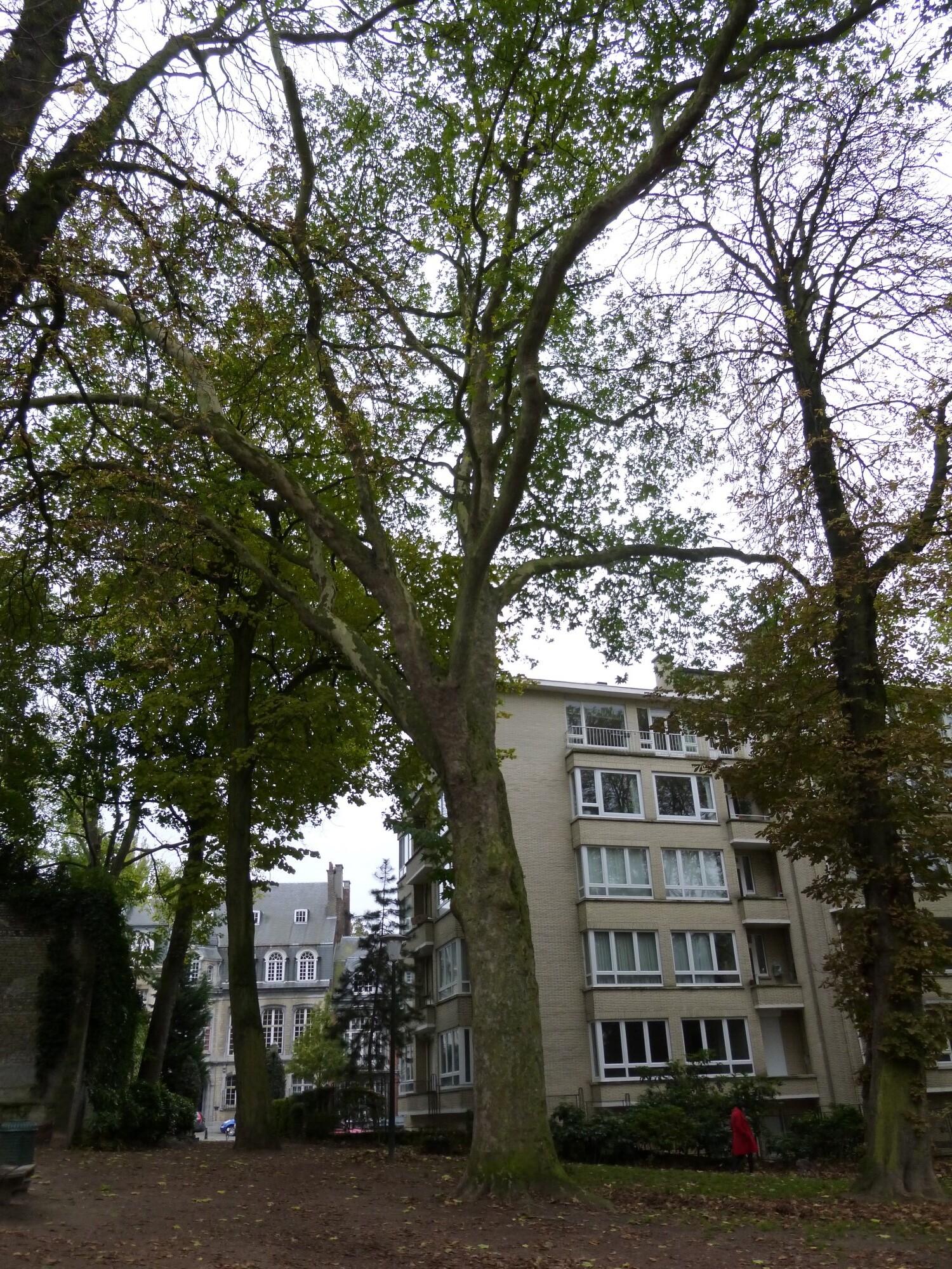 Platane d'Orient – Ixelles, Parc Buchholtz, Rue Américaine –  08 Novembre 2012