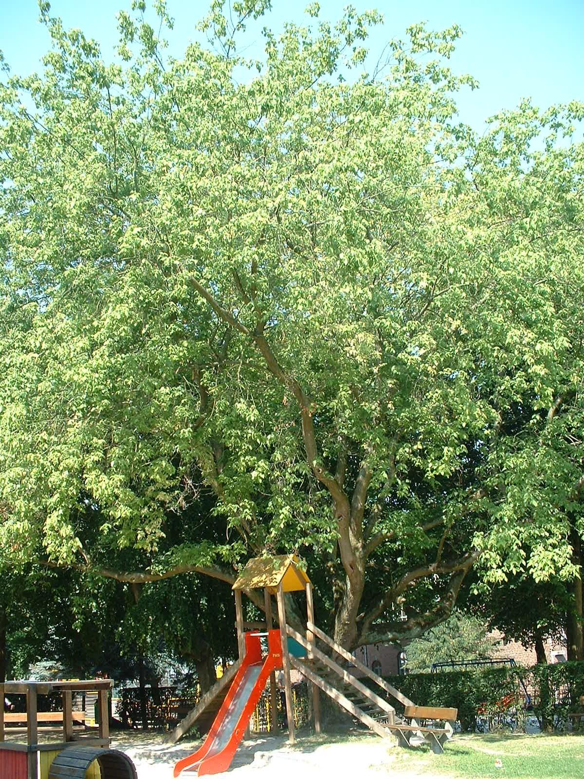 Erable à feuilles de frêne – Ixelles, Plaine de jeux de la Petite Suisse, Avenue Général Médecin Derache –  16 Juillet 2003