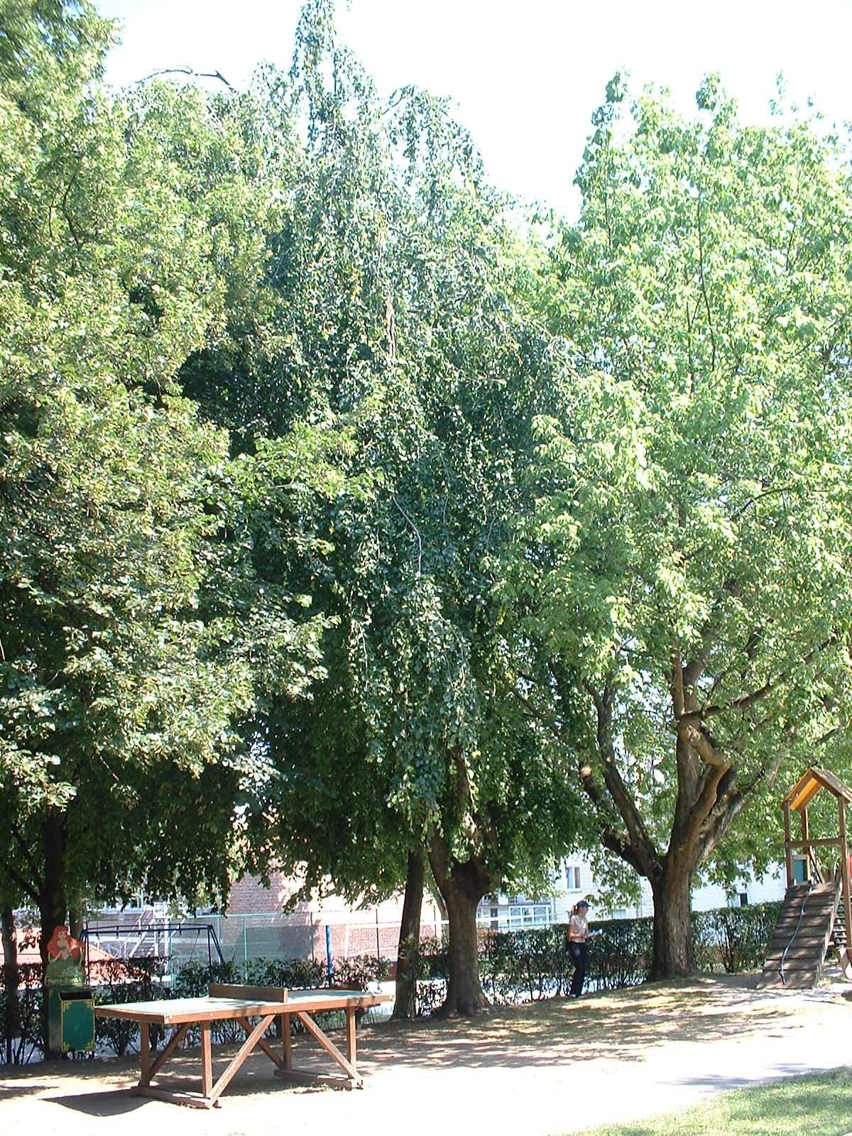 Hêtre pleureur – Ixelles, Plaine de jeux de la Petite Suisse, Avenue Général Médecin Derache –  16 Juillet 2003