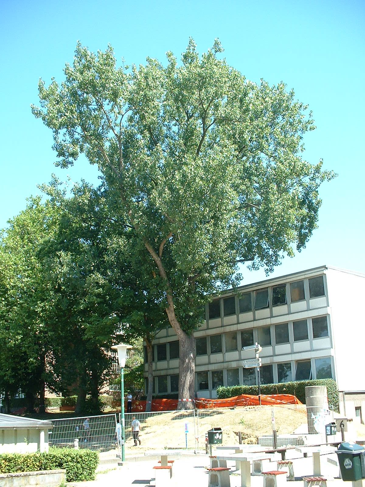 Peuplier du Canada – Bruxelles, Université Libre de Bruxelles - Solbosch, parc –  15 Juillet 2003