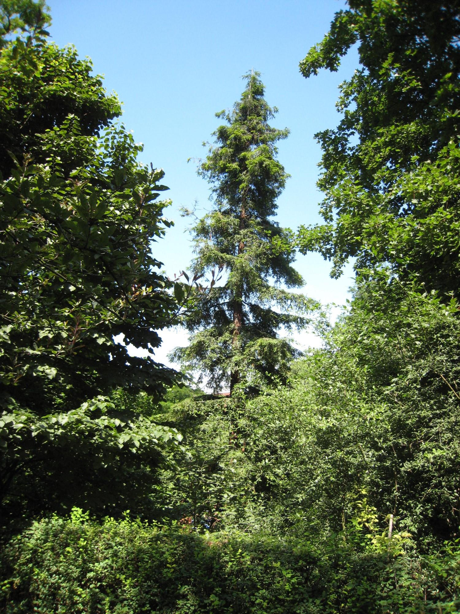 Cunninghamie du Japon – Ixelles, Parc Tenbosch –  24 Juin 2008