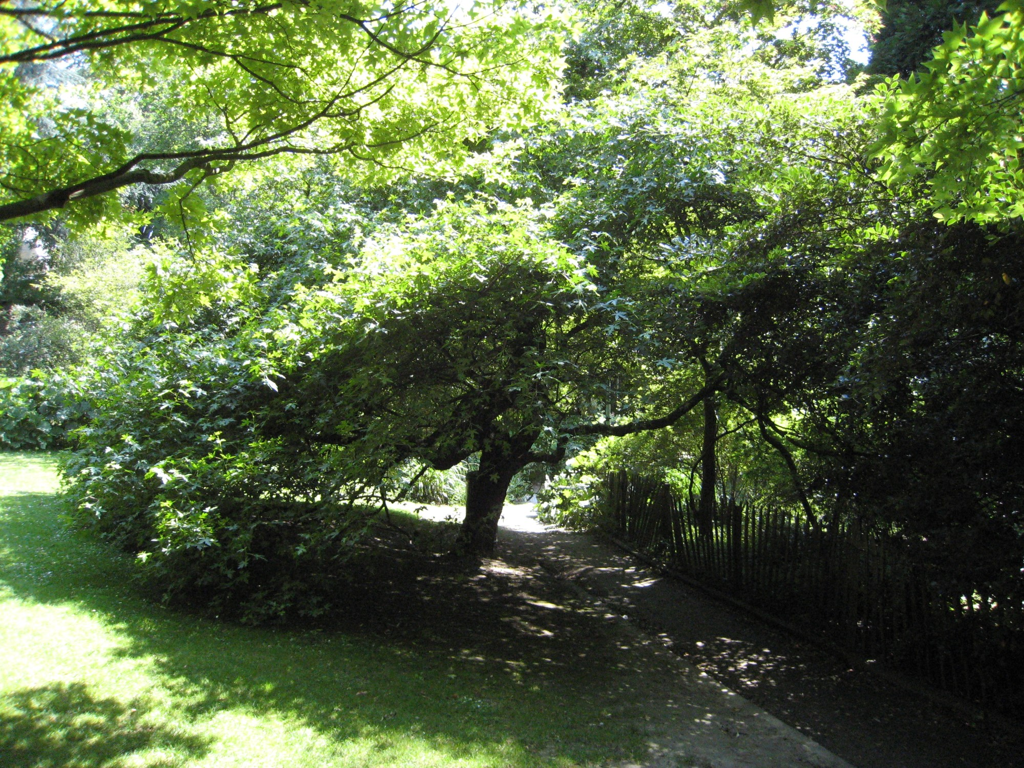 Oosterse amberboom – Elsene, Tenboschpark –  24 Juni 2008