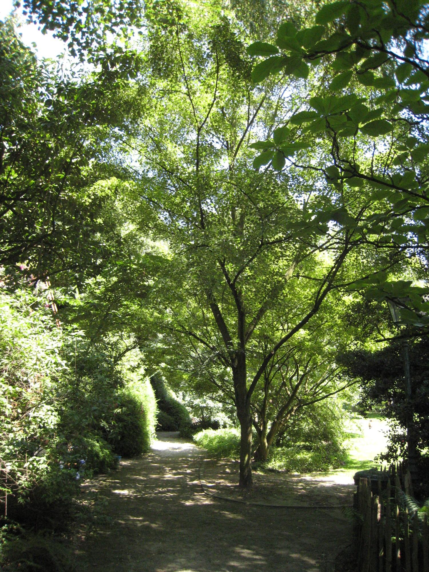 Tilleul du Japon – Ixelles, Parc Tenbosch –  24 Juin 2008