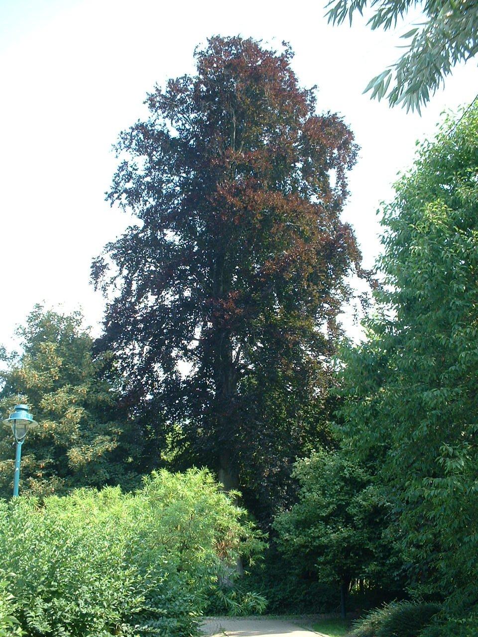 Hêtre pourpre – Jette, Parc Roi Baudouin phase 1, parc –  15 Juillet 2005