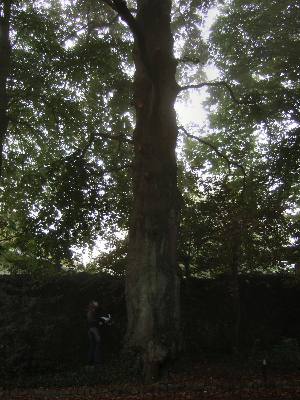 Hêtre d'Europe – Jette, Parc Titeca, Drève de Dieleghem, 79 –  08 Octobre 2007