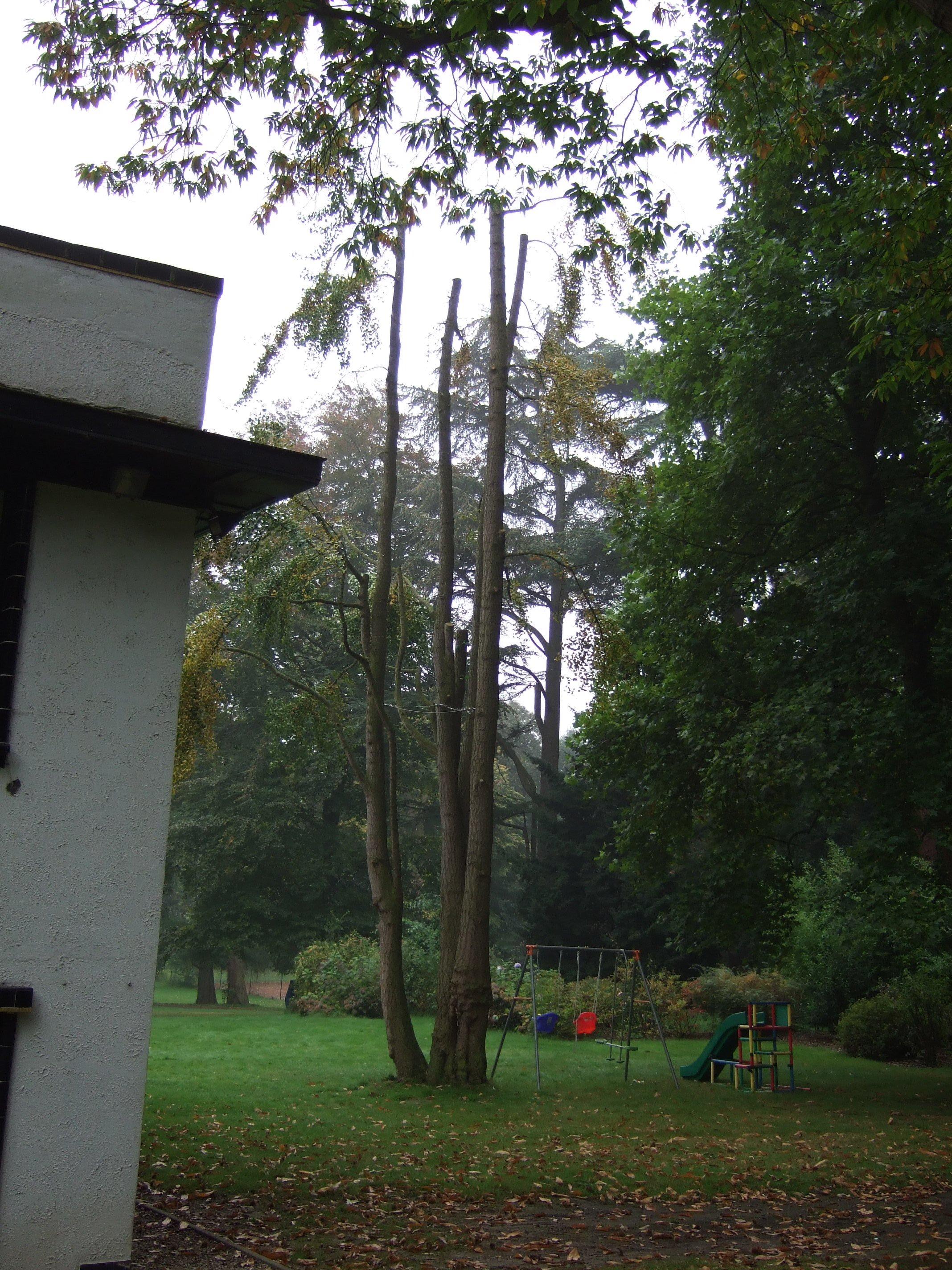 Arbre aux quarante écus – Jette, Parc Titeca, Drève de Dieleghem, 79 –  08 Octobre 2007
