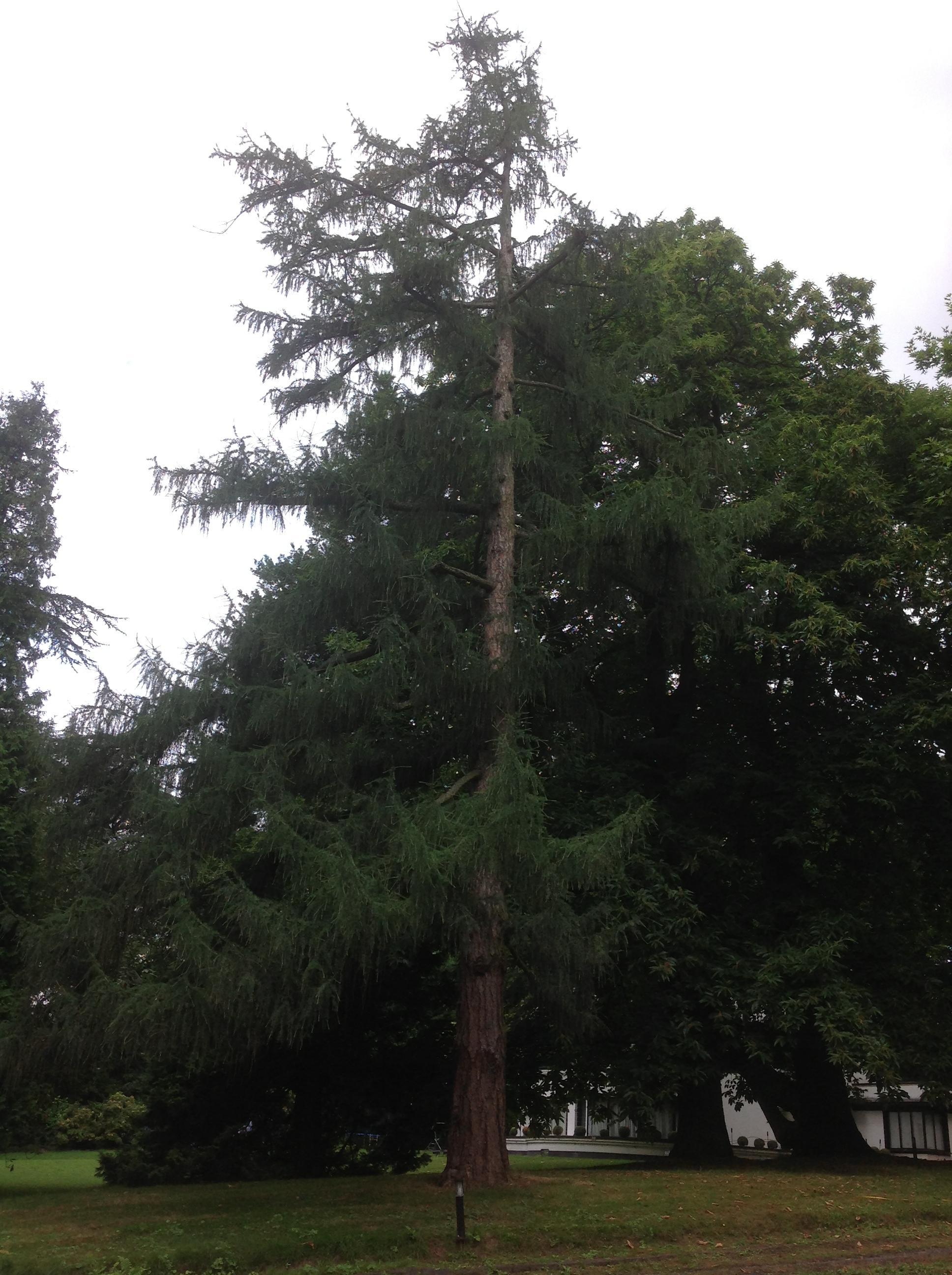 Mélèze du Japon – Jette, Parc Titeca, Drève de Dieleghem, 79 –  30 Juillet 2013