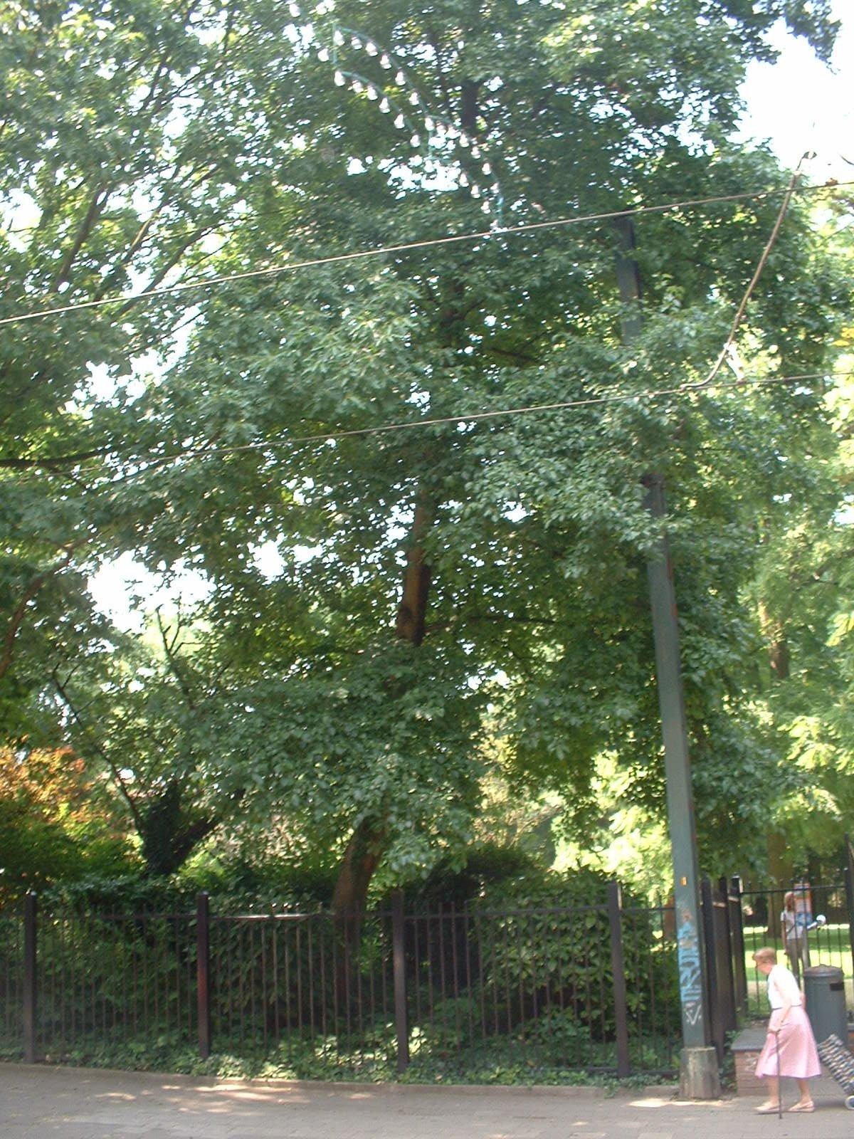 Aulne à feuilles cordées – Jette, Parc Garcet, Rue Léon Theodor –  13 Juillet 2005