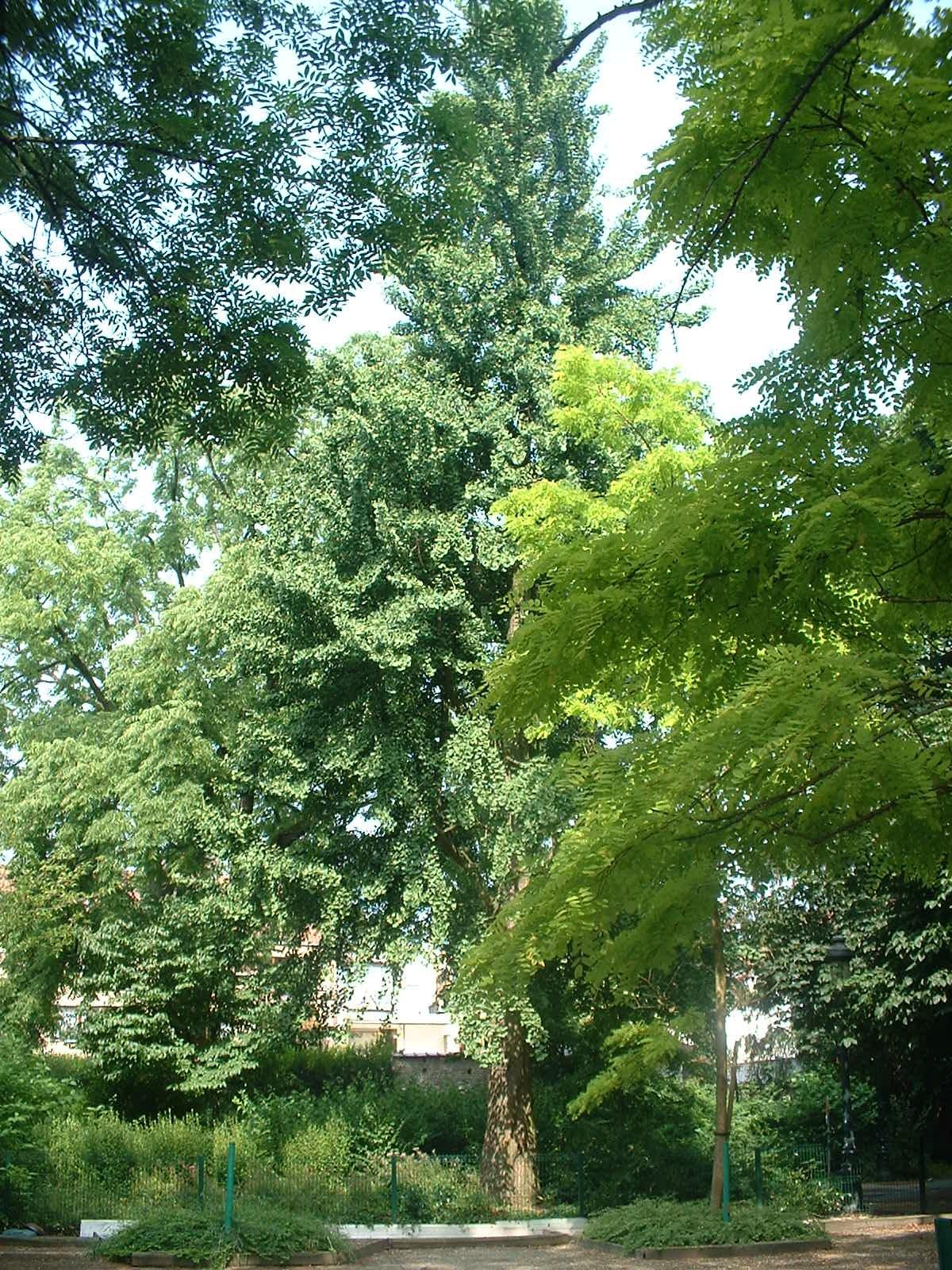 Arbre aux quarante écus – Jette, Parc Garcet, parc –  13 Juillet 2005